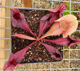 Sarracenia rosea 'Fat Chance', live carnivorous pitcher plant, potted