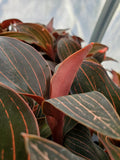 Ludisia discolor, Jewel Orchid, live potted plant