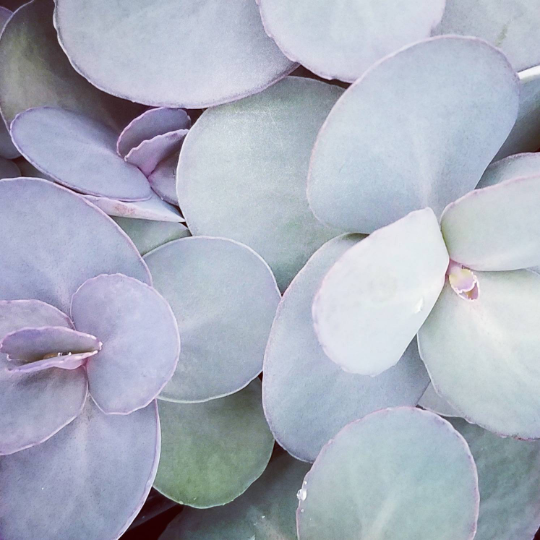 Sedum SunSparkler 'Blue Pearl'