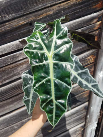 Alocasia 'Polly', African Mask Plant, Live, Tropical, Potted