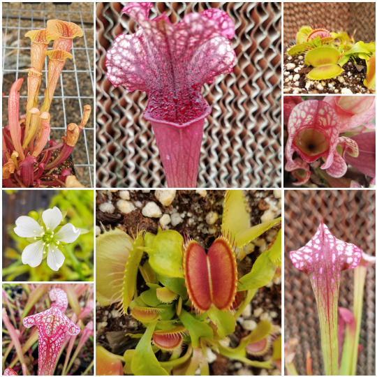 Bog beginner pack with Sarracenia and Flytrap, live carnivorous plants, temperate collection