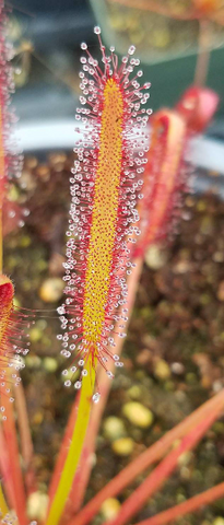 Drosera capensis 'Big Pink', live carnivorous plant, potted