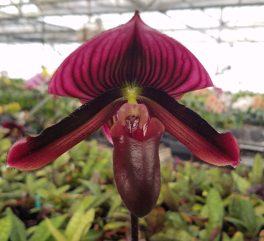 Paphiopedilum 'Pisgah Midnight', live Lady Slipper Orchid, potted