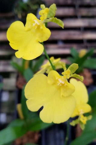 IN SPIKE! Oncidium Sweet Sugar 'Lemon Drop' HCC/AOS, live potted orchid