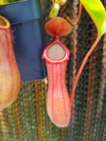 Nepenthes Ventrata, tropical pitcher plant, live carnivorous plant, potted