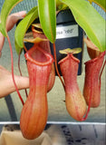Nepenthes ventricosa 'Red', tropical pitcher plant, live carnivorous plant, potted
