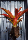 "Neoregelia 'Fireball"" with pup, live rooted bromeliad, houseplant"