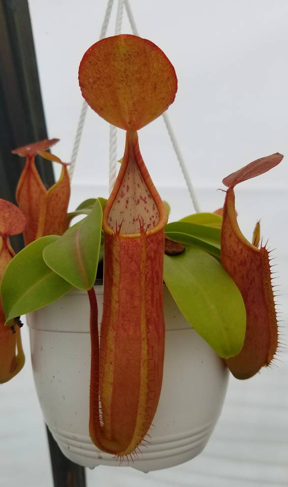 Nepenthes sanguinea 'Orange', tropical pitcher plant, live carnivorous plant, potted