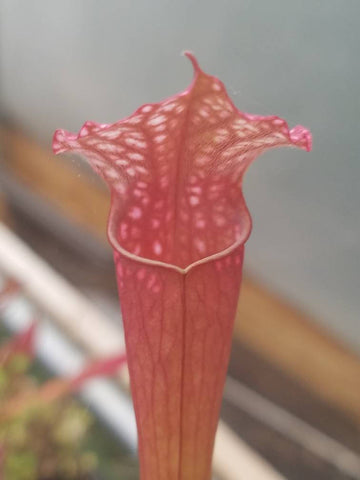 Sarracenia x 'Judith Hindle', live carnivorous plant,  potted