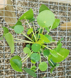 Pilea peperomioides, Chinese Money Plant, Potted