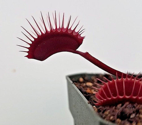 Venus Flytrap 'Red Dragon', live carnivorous plant, potted