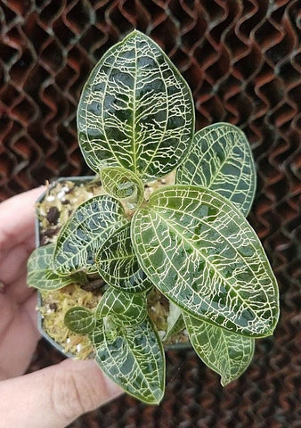 Macodes petola, Jewel Orchid, live potted plant