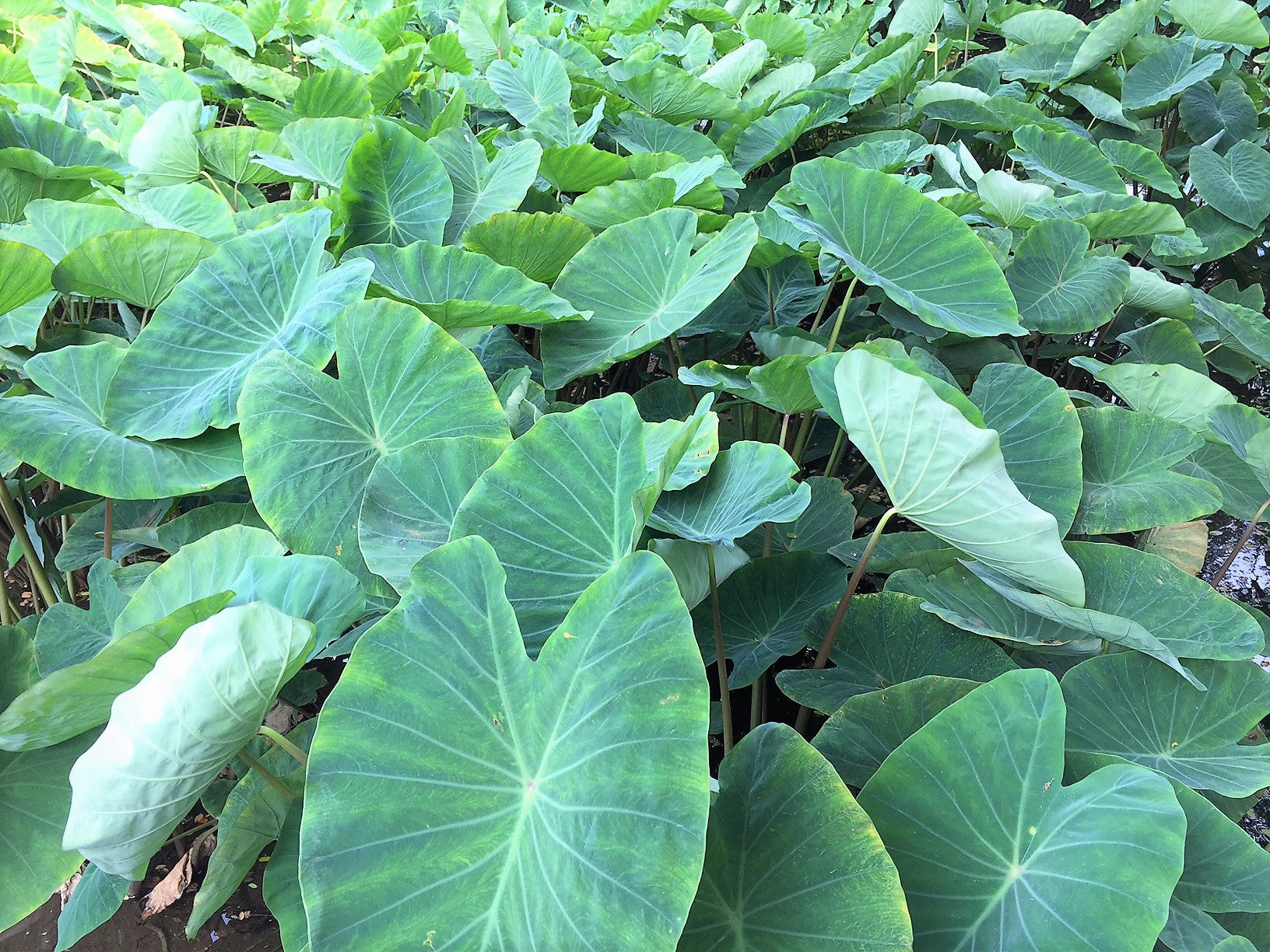 Kalo taro rooted in the hearts of hawaii hawaiian springs water lush kalo ponds are found throughout the islands the ponds are often times happily shared with varieties of fish and native birds such as elepaio izmirmasajfo