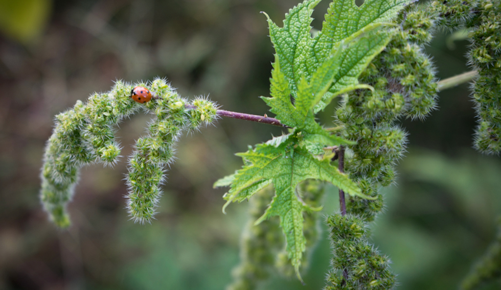 Nettle, the Best Alternative for Cotton