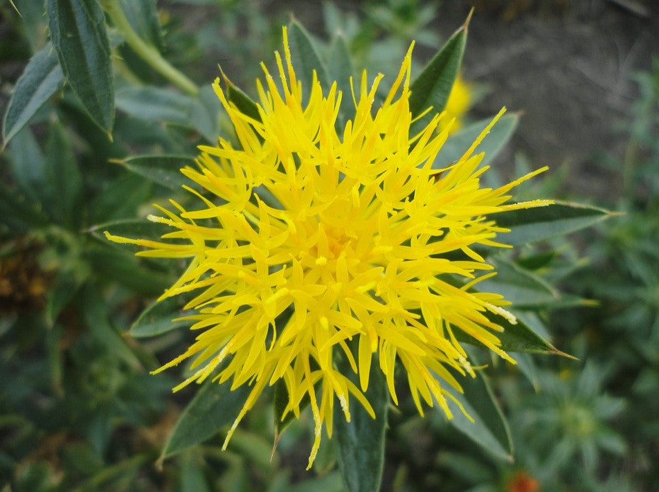 Ancient Safflower Used for Natural Dyes and Blood Cleansing