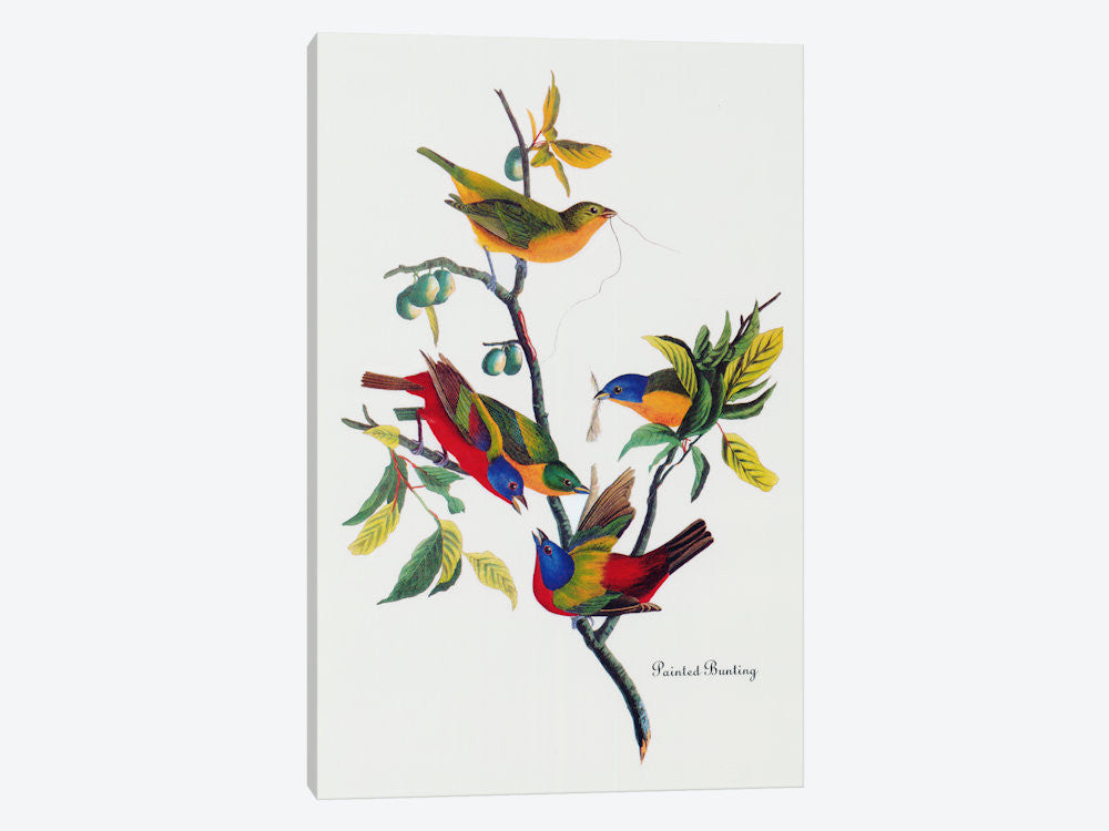 "Painted Bunting by John James Audubon Canvas Print 26"" L x 40"" H x 0.75"" D - eWallArt"