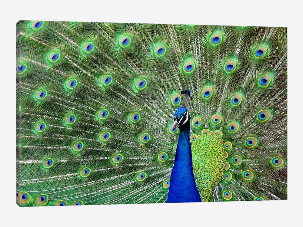 "Peacock Feathers Canvas Print 60"" L x 40"" H x 1.5"" D - eWallArt"