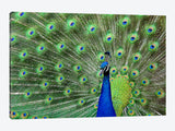 Peacock Feathers Canvas Print 60