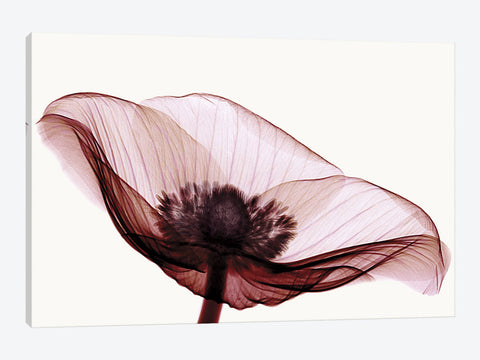 "Anemone I by Robert Coop Canvas Print 40"" L x 26"" H x 0.75"" D"