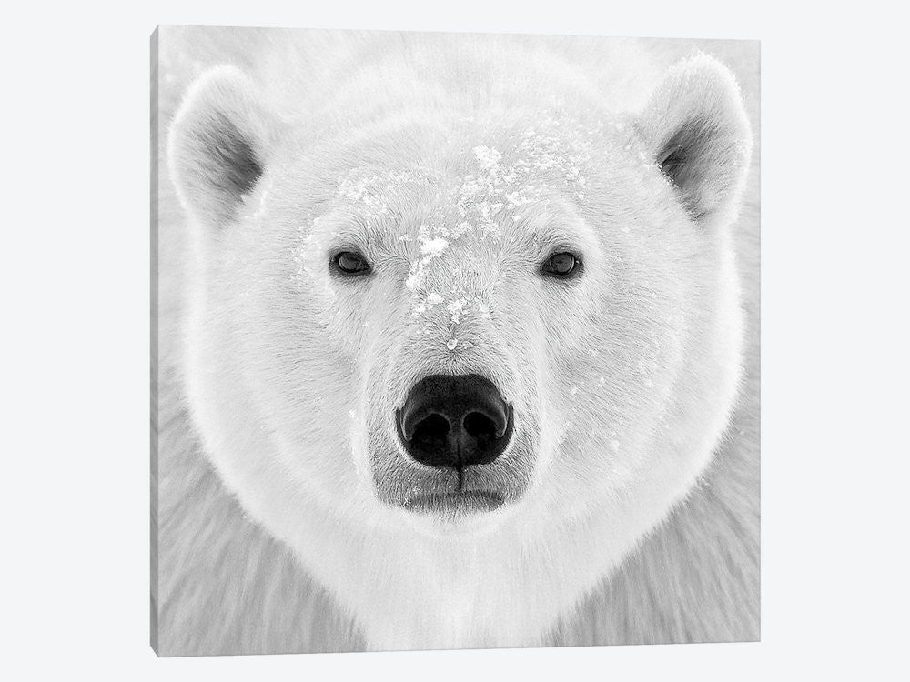 "Polar Bear by PhotoINC Studio Canvas Print 26"" L x 26"" H x 0.75"" D - eWallArt"