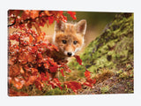 Fox by Robert Adamec Canvas Print 26