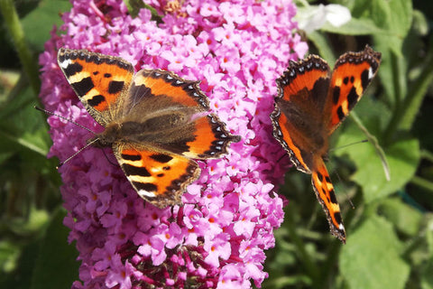 Butterflies Are For Example Always Fans Of The Flower Buddleja (Butterfly  Bush)