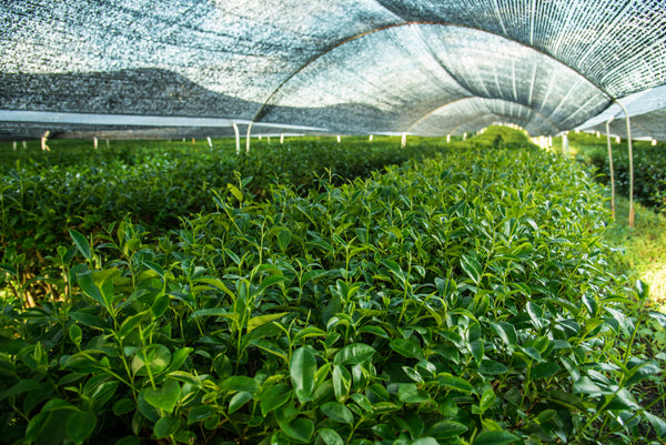Overshaded tea plants in Japan