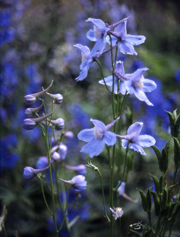 Delphinium Cultorum Belladonna Light Blue