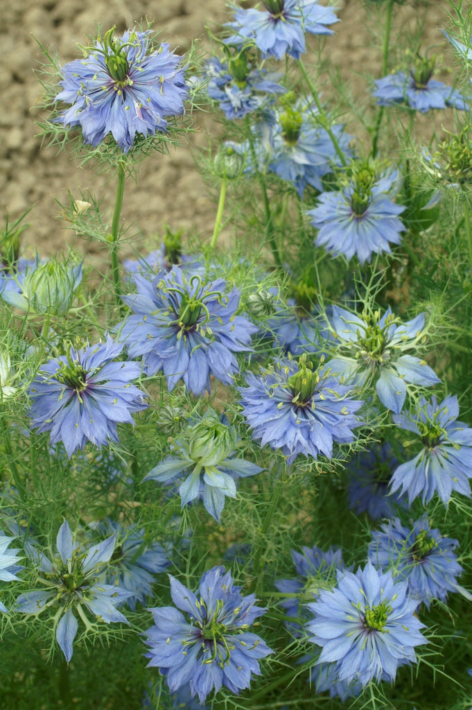 Nigella Damascena Miss Jekyll- Blue