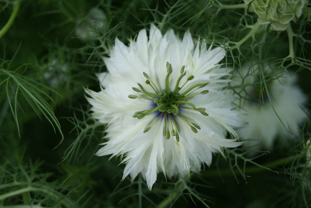 Nigella Damascena Miss Jekyll- White
