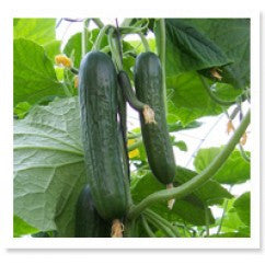 Cucumber F-1 TOP 1052 Beit Alpha Type (Short)