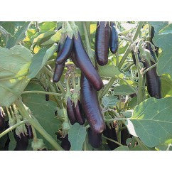 Eggplant Little Finger, Heirloom - Certified Organic