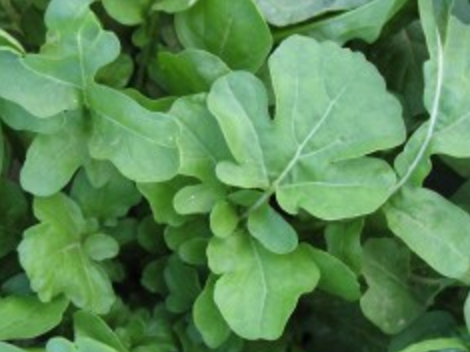 Arugula, Cultivated Roquette, Heirloom, Certified Organic