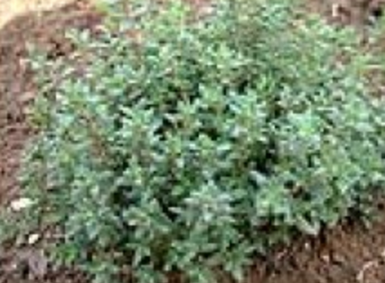Thyme Summer Certified Organic