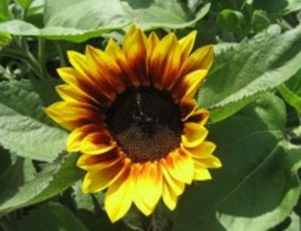 Sunflower F-1 Hybrid Bi Color Sunset Dark