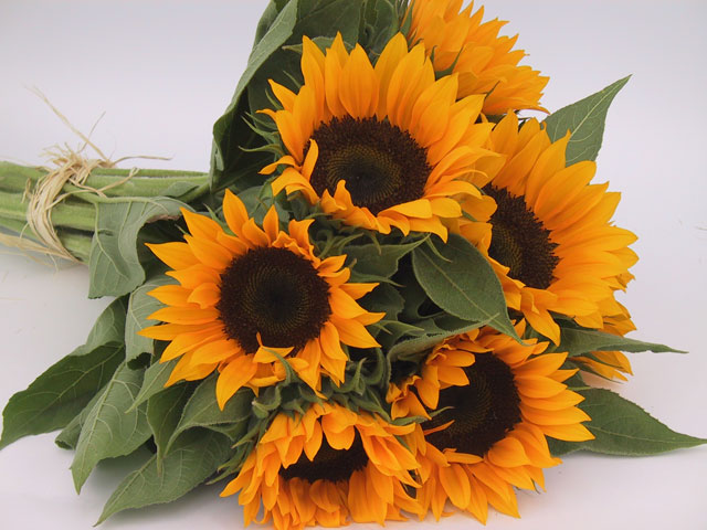 Sunflowers Zohar F-1 Certified Organic