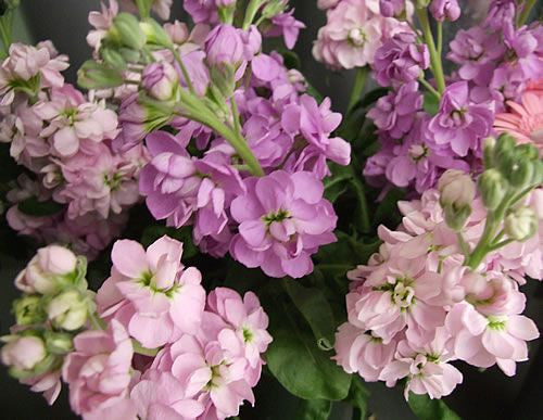 Stock Flower (Matthiola Incana) - 1 Pound