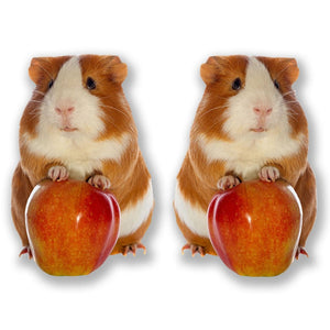 2 x Cute Ginger Guinea Pig Vinyl Sticker #6596