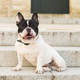 Can A French Bulldog Climb Stairs