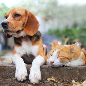 Do Beagles and Cats Get Along?