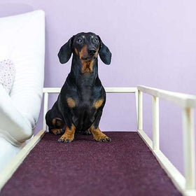 Is it Safe for a Dachshund to Climb Stairs?