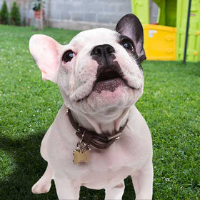 Do French Bulldogs Bark A Lot?