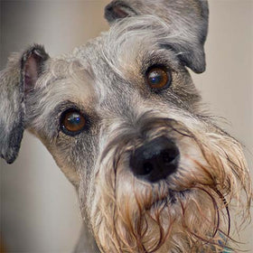 Do Miniature Schnauzers Shed A Lot?