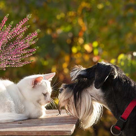 Are Miniature Schnauzers Good with Cats?