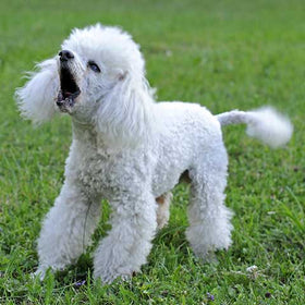 Do Poodles Bark A Lot?