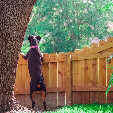 Does My Rottweiler Need a Fenced in Yard?