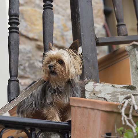 Can Yorkies Climb Stairs?