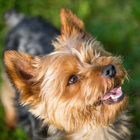 Do Yorkies Bite Their Owners?