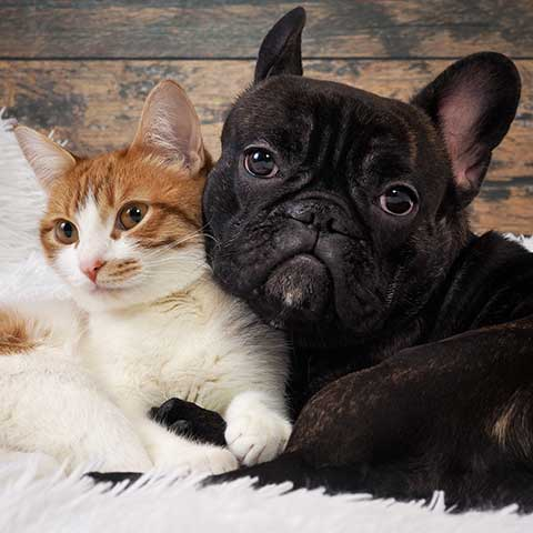 French-Bulldog-snuggling-with-cat-ChewdUp