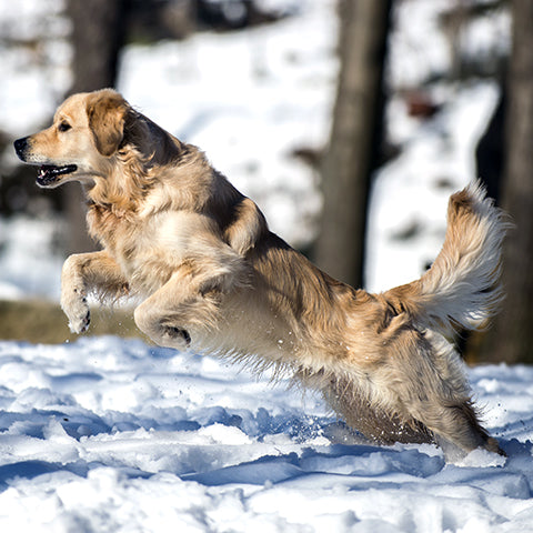 Golden Retriever Running in the Snow